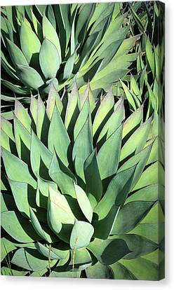 Canvas Print featuring the photograph Agave by Catherine Lau
