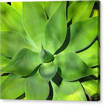Agave Delight Canvas Print by Candace Garcia