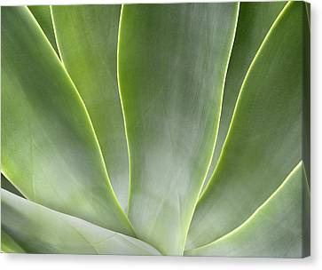 Agave Leaves Canvas Print by Rich Franco