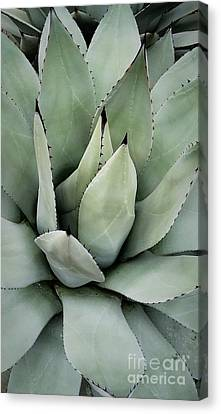 Agave Canvas Print by Nature's Effects - Heather Seward