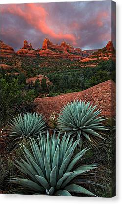 Agave On The Rocks Canvas Print by Guy Schmickle