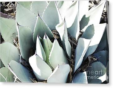 Canvas Print featuring the photograph Agave Plant Leaves by Andrea Hazel Ihlefeld