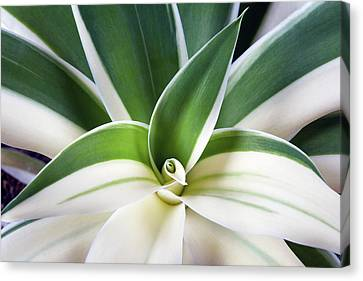 Agave Ray Of Light Canvas Print by Catherine Lau