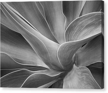 Agave Shadows And Light Canvas Print