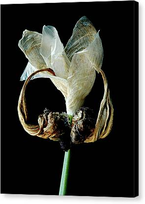 Canvas Print featuring the photograph Aging Curl by Art Shimamura