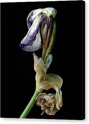 Canvas Print featuring the photograph Aging Iris by Art Shimamura