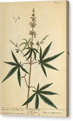 Agnus Canvas Print - Agnus Castus, Medicinal Plant, 1737 by Science Source