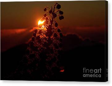 Canvas Print featuring the photograph Ahinahina - Silversword - Argyroxiphium Sandwicense - Sunrise by Sharon Mau