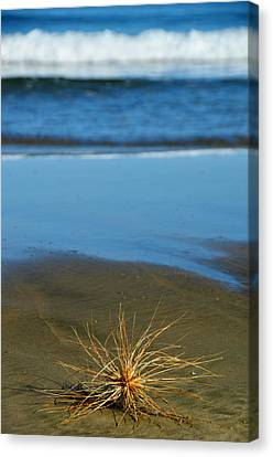 Ahipara Tumbleweed Canvas Print by Helen Worley
