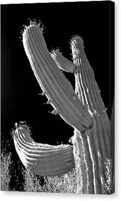 Saguaro Cactus Canvas Print - Ain't No Saguaro In Texas by Christine Till