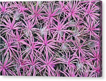 Bromeliad Canvas Print - Airplants by Tim Gainey
