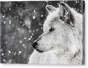 Akela The Wolf Canvas Print by Andrew Wells