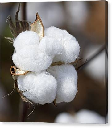 Alabama Cotton Boll Canvas Print by Kathy Clark