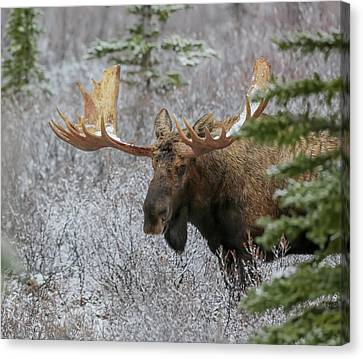 Alaska Yukon Moose Canvas Print by Sam Amato