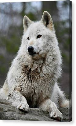 Alawa The Wolf Rests Canvas Print