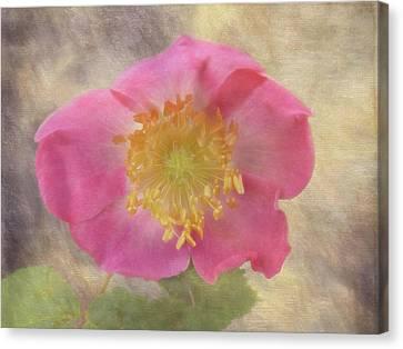 Alberta Rose - 365-143 Canvas Print by Inge Riis McDonald
