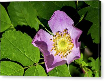 Canvas Print featuring the photograph Alberta Wild Rose Opens For Early Sun by Darcy Michaelchuk
