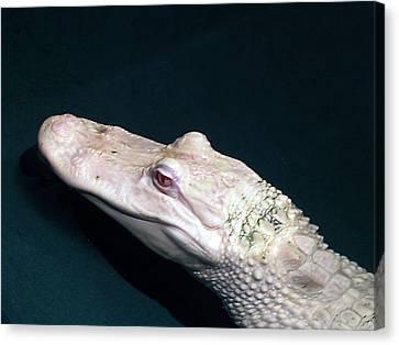 Albino Alligator  Canvas Print