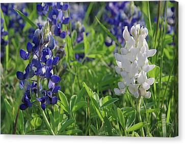 Canvas Print featuring the photograph Albino And Blue Bluebonnet by Robyn Stacey