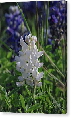 Canvas Print featuring the photograph Albino Bluebonnet by Robyn Stacey