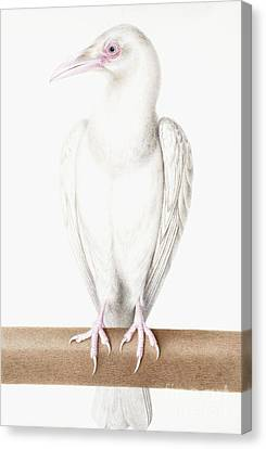 Albino Crow Canvas Print by Nicolas Robert