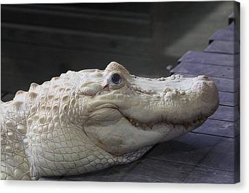 Albino Gator Canvas Print by Jeanne Andrews