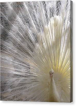 Pure White Peacock Canvas Print