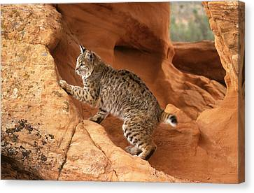 Alert Bobcat Canvas Print by Larry Allan