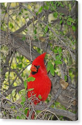 Alert Cardinal Canvas Print by Elvira Butler