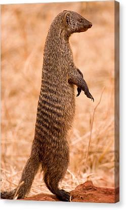 Alert Mongoose Canvas Print by Adam Romanowicz