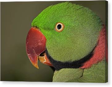 Canvas Print featuring the photograph Alexandrine Parakeet by JT Lewis