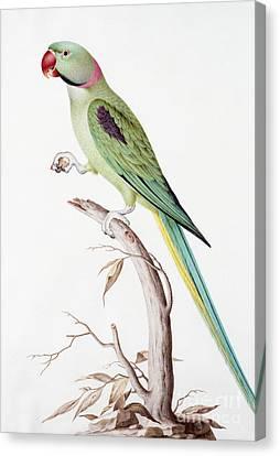 Alexandrine Parakeet Canvas Print by Nicolas Robert