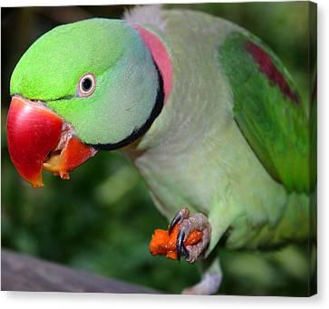Alexandrine Parrot Feeding Canvas Print