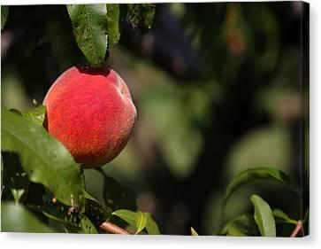 All Natural Peach Canvas Print by Karol Livote