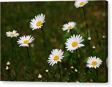 All The Daisies Canvas Print by Susanne Van Hulst
