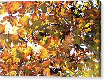 Foliage Canvas Print - All The Leaves Are Red And Orange Fall Foliage With Sunshine by Design Turnpike
