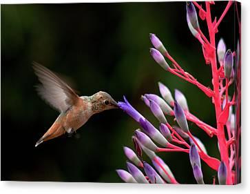 Allen's Hummingbird At Breakfast Canvas Print by Mike Herdering