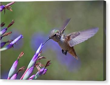 Allen's Hummingbird Canvas Print by Mike Herdering