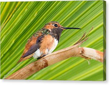 Allen's Hummingbird On Palm Tree Canvas Print