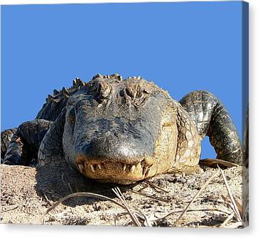 Alligator Approach .png Canvas Print by Al Powell Photography USA