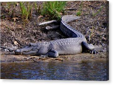 Alligator Resting Canvas Print