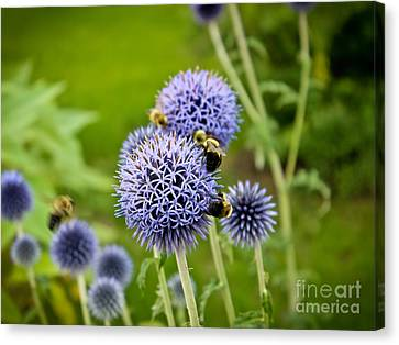 Allium And The Pollinators Canvas Print by Colleen Kammerer