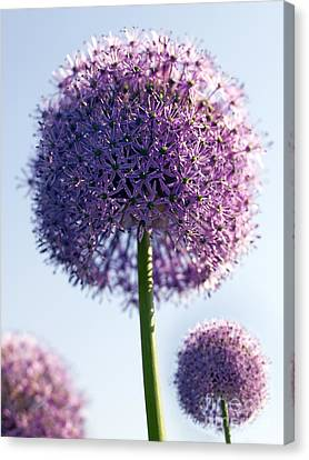 Allium Flower Canvas Print by Tony Cordoza