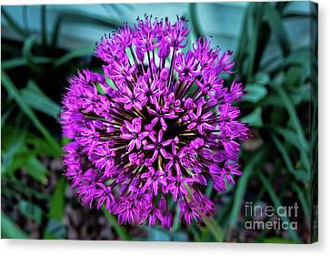 Allium Canvas Print by Robert Bales