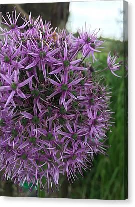 Allium Stars  Canvas Print by Kathy Spall