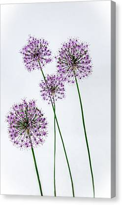 Alliums Standing Tall Canvas Print by Susan  McMenamin