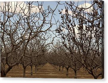 Almond Orchard Canvas Print by Denice Breaux