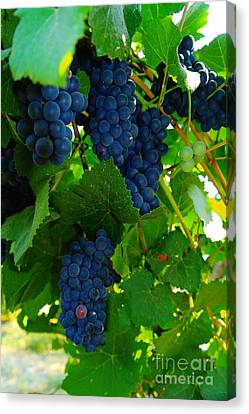Vintner Canvas Print - Almost Ready For Harvest  by Jeff Swan