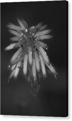 Aloe Bloosom Canvas Print by Alexander Rozinov