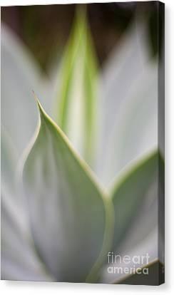 Depth Of Field Canvas Print - Aloe Mirage by Mike Reid